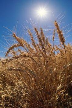 How to Grow Wheat for Flour