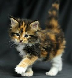 Inspiration Cute Cats And Kittens Drawings If you are looking for Cute cats and kittens drawings you've come to the right place. We have collect images about Cute cats and kittens drawings incl. Fluffy Calico Oh My I Want A Kitten Kittens Cutest Cute