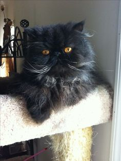 Black Persian Cat-  this cat looks just like Bijou LeFleur~Mary