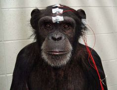Brain response to affective pictures in the chimpanzee