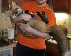 sleepy fox.  I want a fox so bad.  Where do I get one? Animals And Pets, Baby Animals, Funny Animals, Cute Animals, Wild Animals, Cane Corso, Wild Life, Chinchilla, Happy Fox