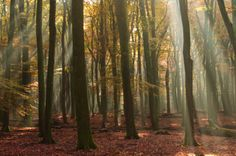 """""""Wood of the dancing trees"""" - Speulderbos near Putten, The Netherlands"""