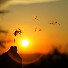 Sunsets and dandelions=magnificent!!