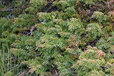 Einir (Juniperus communis), via Flickr.
