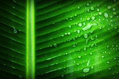 💡 Check out this free photoGreen Banana Leaf With Substance of Clear Liquid    👉 https://avopix.com/photo/39212-green-banana-leaf-with-substance-of-clear-liquid    #drop #leaf #plant #water #rain #avopix #free #photos #public #domain