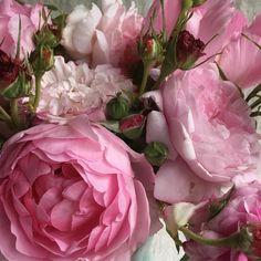 """1,626 Likes, 17 Comments - Frances Palmer (@francespalmer) on Instagram: """"#rose #dspink"""""""