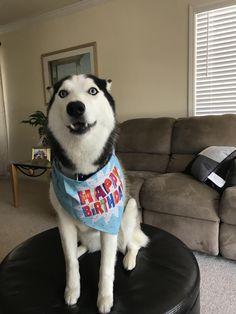 Boxer Mix, Husky Dog, Snow Dogs, Siberian Huskies, Australian Shepherd, Rottweiler, Fur Babies, Cute Animals, Happy Birthday