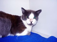 """""""Cali"""" Needs a good home!  CEI # 6049  www.CatsExclusive.org  Fixed, vaccinated, negative for FIV/FeLV/HW, de-wormed, de-fleaed."""