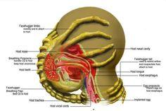 Facehugger - anatomy