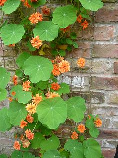 Nasturtium...plant by cabbage, broccoli, kale...to help pest control plus it is an edible addition to salad