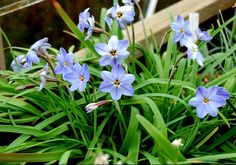Ipheion uniflorum 'Rolf Fielder'