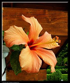 Hibiscus flower by Giancarlo Gallo