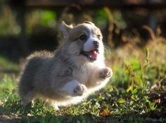 귀여운 강아지 웰시코기 사진