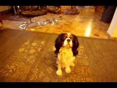 Charlie the Cavalier King Charles Spaniel - Cute Dog Tricks REALLY CUTE!!