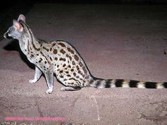 Common Genet. Genets are feliforms, and are related to cats, but more closely related to Mongooses. Most of them have spotted coats, long, banded tails, small heads, and large ears. They are able to move through any opening that their head can fit through.