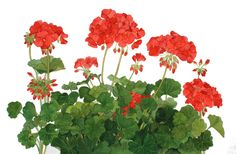 Red Geraniums Original Watercolor Painting by wandazuchowskischick