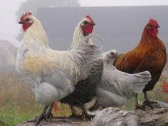 Swedish Hedemora hens