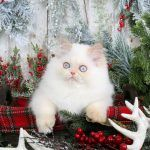 Golden & White Persian KittensUltra Rare Persian Kittens For Sale – (660) 292-2222 – Located in Northern Missouri (Shipping Available)