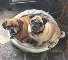 There are many great pug rescue organisations across that world and now is your chance to get to know more about them just like Pug Patrol Rescue Australia. Pug Puppies, Pugs, Pug Rescue, Dog Spay, Emergency Vet, Dog Clippers, Pet Health Insurance, Save A Dog, Flea Treatment