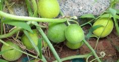 這個小野果口味甘甜,輔助治療肝硬化,糖尿病患者也可以吃