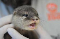 Wide-eyed otter pup gasps - April 26, 2014 - More at the link: http://dailyotter.org/2014/04/26/wide-eyed-otter-pup-gasps/ !