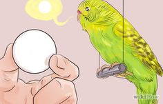 How to Teach Your Parakeet to Love You: 12 Steps