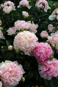 peonies, makes me think of grandma. I remember the smell when we would get out of the car....