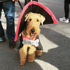 #TBT to @maddietheairedale's 2016 Howl-O-Ween costume...She wants to remind you about our upcoming Ghouls Gimlets & Grrrowlers event on Thursday October 26. This event is free for all and will feature drinks refreshments dog treats and a costume contest for the doggos!