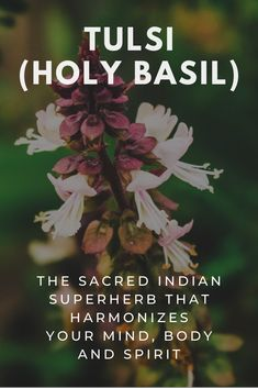Tulsi, also known as Holy Basil, has a wide range of psycho-spiritual and physical health benefits and is widely believed to be a gift from Hindu Gods. Healing Herbs, Medicinal Plants, Natural Healing, Holistic Remedies, Herbal Remedies, Natural Remedies, Herbal Magic, Herbal Cure, Natural Medicine