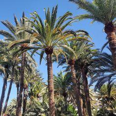 Wipfel voller Wedel. - #palmenwald #palme #palmtree #crown #plaza #garten #maspalomas #schatten #laspalmas #grancanaria #españa #kanaren #islascanarias