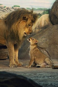 Lion king and his cub, Beautiful creatures ❤️ Animals And Pets, Baby Animals, Cute Animals, Wild Animals, Beautiful Cats, Animals Beautiful, Big Cats, Cats And Kittens, Gato Grande
