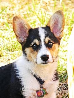 So handsome :) Live Animals, Animals And Pets, Corgi Puppies, Dogs And Puppies, Corgi Funny, Adorable Puppies, Pembroke Welsh Corgi, Aussies, Cute Creatures