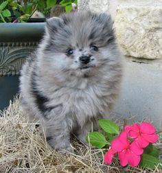 OMG! He is so cute! Blue Merle Pomeranian Puppy    Probably the only dog if consider having, some cute blue Merle  Pomeranian or a pomsky.