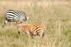 """Leucistic Zebra - photo by Pam (Nerd's Eye View), via Flickr   ...labeled """"albino"""" but this zebra has dark eyes and a dark muzzle...     https://www.flickr.com/photos/nerdseyeview/6184147986/in/photostream/"""