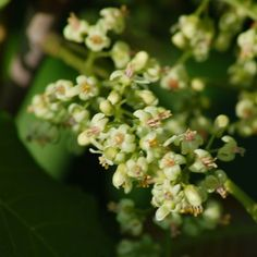 Picture of poison ivy flowers. As this picture shows, poison ivy flowers are rather unremarkable.