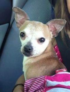 >> Sutton, MA - Lost Tan & White Chihuahua