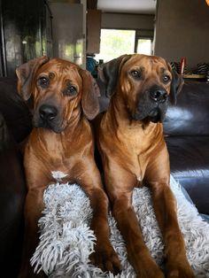 my Rhodesian Ridgebacks Rhodesian Ridgeback Puppies, Vizsla, Huge Dogs, I Love Dogs, Cute Puppies, Dogs And Puppies, Doggies, Animals And Pets, Cute Animals