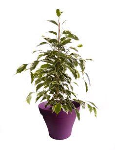 Petit ficus golden king avec cache pot violet