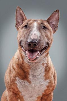 El Bull Terrier (Miniature) es una raza de origen en el White Terrier Inglés extinguido, el dálmata y el Bulldog. La primera existencia está documentada en 1872 Los perros de la isla británica.