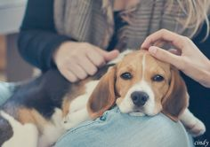 Ill always have a beagle in my house