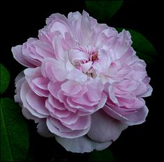 """Jacques Cartier""  France  1842. Hybrid Perpetual.  Light pink rose with a very strong fragrance."