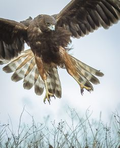 Kahu (Australasian harrier) attack by Simon Larkin Love Birds, Beautiful Birds, Hawk Tattoo, Birds Eye View, Birds Of Prey, Raptors, Bird Art, Ciel, Birds In Flight
