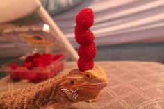 Apologies if you've already seen a lizard balancing berries on its head today funny pictures Cute Baby Animals, Animals And Pets, Funny Animals, Cute Reptiles, Reptiles And Amphibians, Funny Lizards, Pet Lizards, Animal Pictures, Funny Pictures