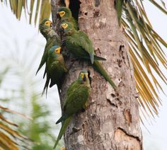 Red-bellied Macaw (Orthopsittaca manilata) A group eat from the palmwood
