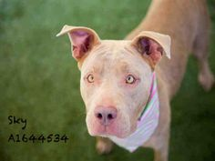 SKY - URGENT - located at CITY OF LOS ANGELES SOUTH LA ANIMAL SHELTER in Los Angeles, CA - Adult Female Pit Bull Terrier