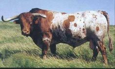 registered Texas longhorn
