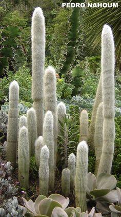 Cleistocactus straussi, Fazenda das Flores BOTANICA POP 2008