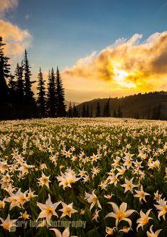 Um campo de lirios Avalanche (Erythronium montanum) ao por-do-sol nas montanhas Olympic, Parque Nacional Olympic, Washington, USA.