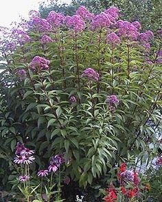 Joe Pye weed - Eupatorium 'atropurpureum'.  Much easier to grow than it is to pronounce! (Planted two last fall 2011).