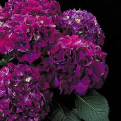 Dark purple hydrangea. Going to use for a hedge here at Rose Cottage